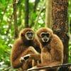 Gibbons Phuket