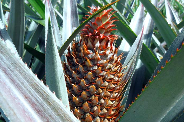 pinapple-plantation