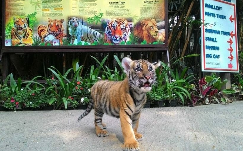 Newborn Tiger Kingdom Phuket